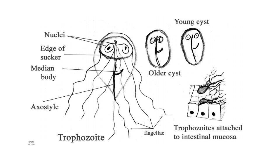 giardiasis, trichomoniasis, leishmaniasis diagnosztizálásának módszerei
