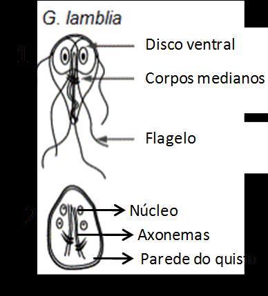 Lammlia helminták, Lamblia cisztanalízis