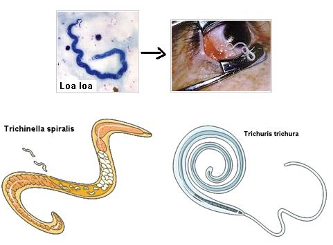 Trichinosis fejlődési ciklus