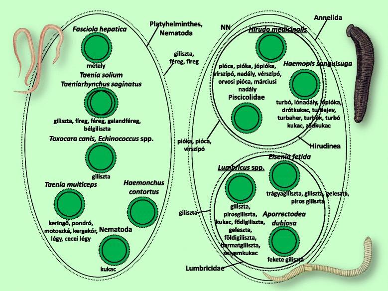 emésztőszervek hiánya a szalagféregben paraziták a máj kezelésében