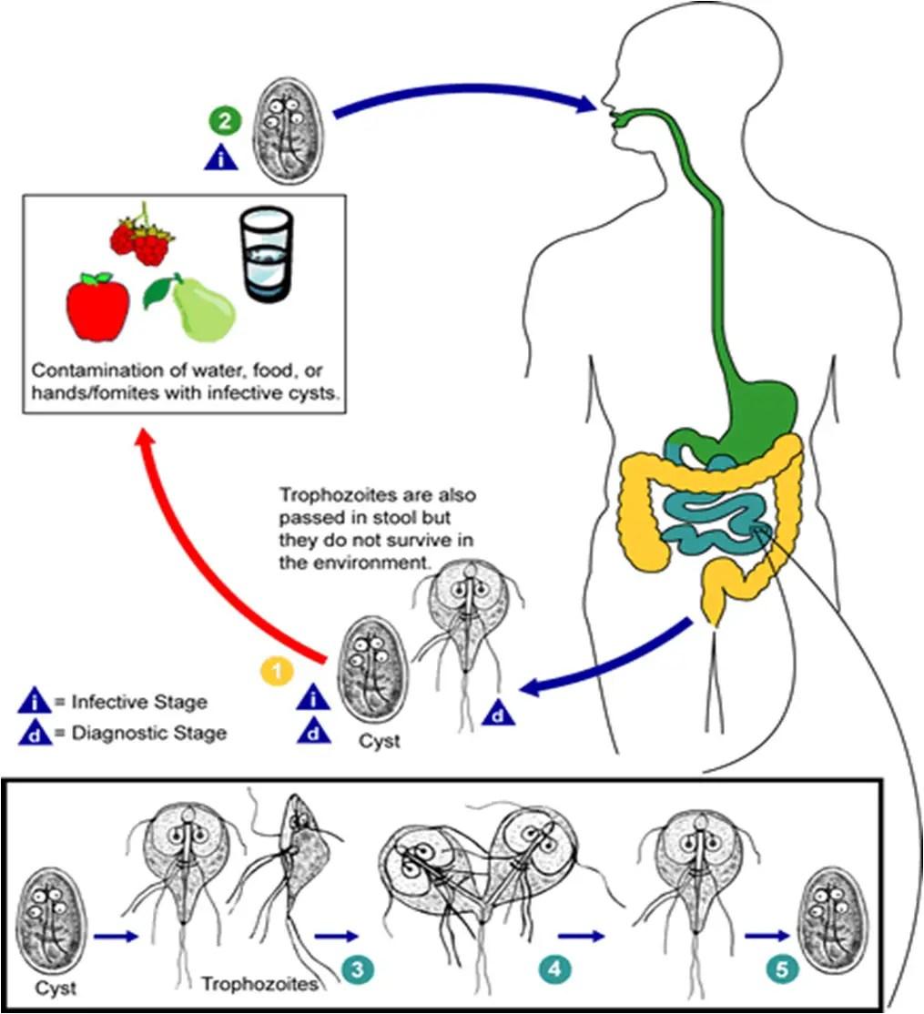 mi a szalagféreg életciklusa távolítsa el a helmintákat a testből