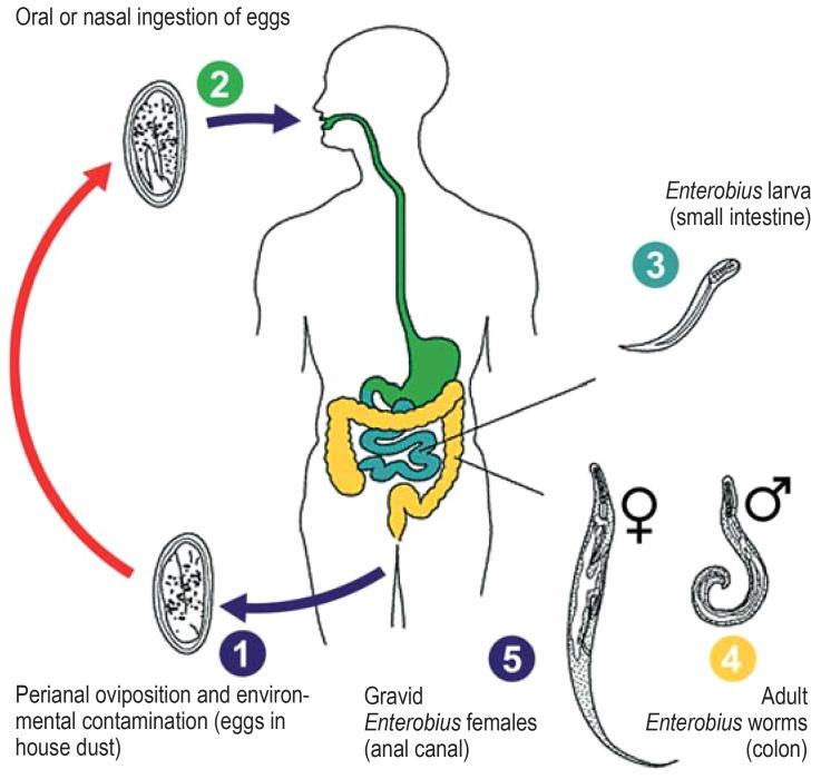 Enterobiosis kezelés felnőtt tablettákban
