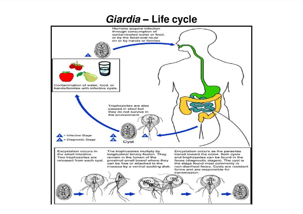 giardia biliary tract disease hogyan lehet meggyógyítani a skizofrénia parazitákat
