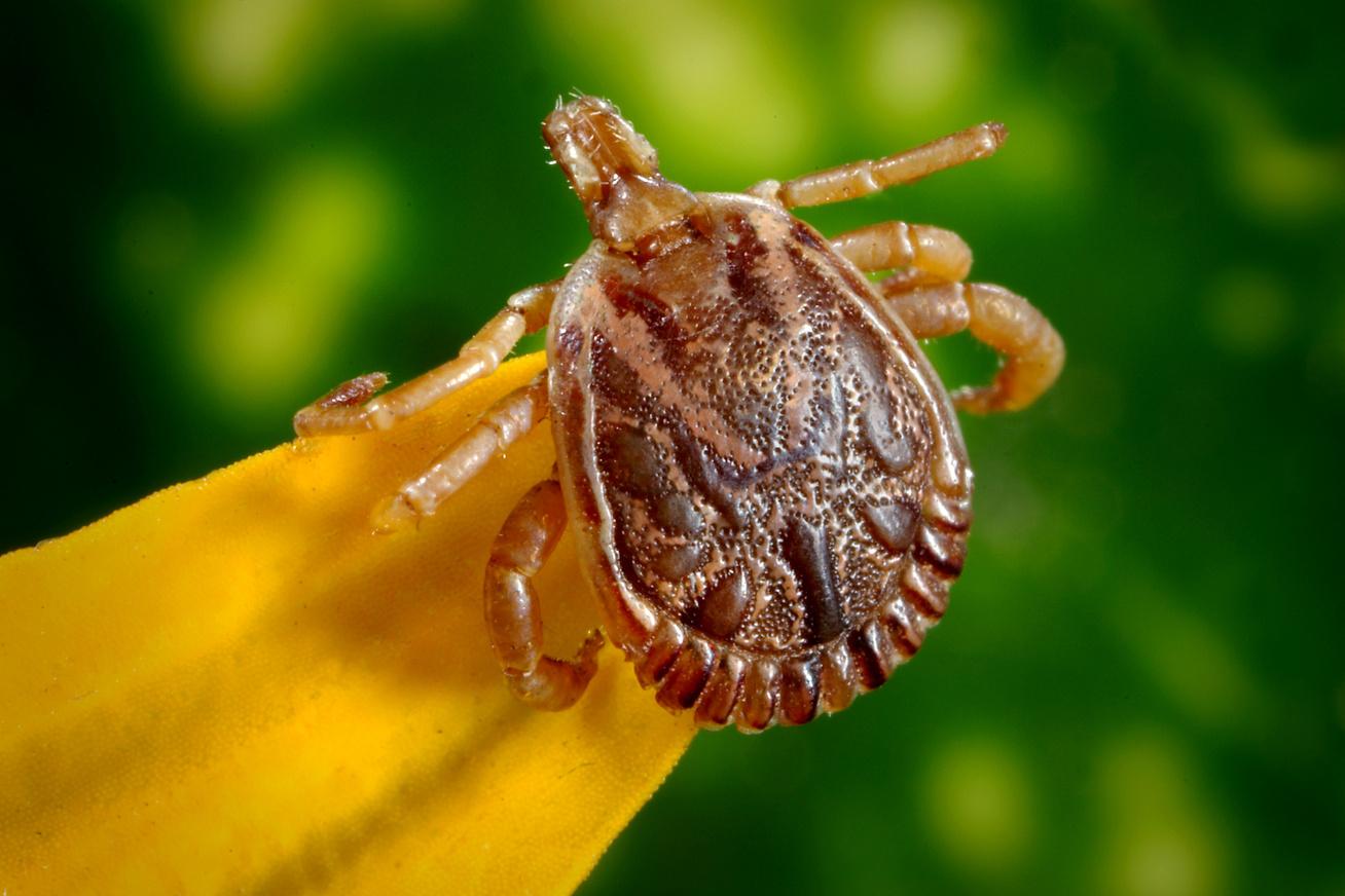 neve rovar paraziták