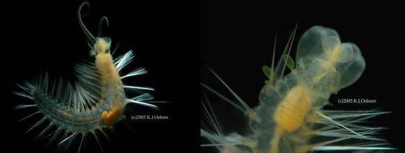 gyurusféreg fajok tőkehal helminták