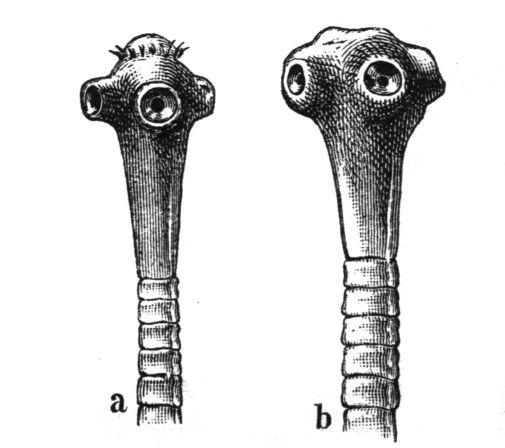 Platyhelminthes osztály cestoda hogy kenet férfiak