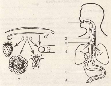 szalagféreg által okozott emberi betegségek