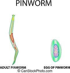 pinworm hólyag A pinworms válaszul parazitizál