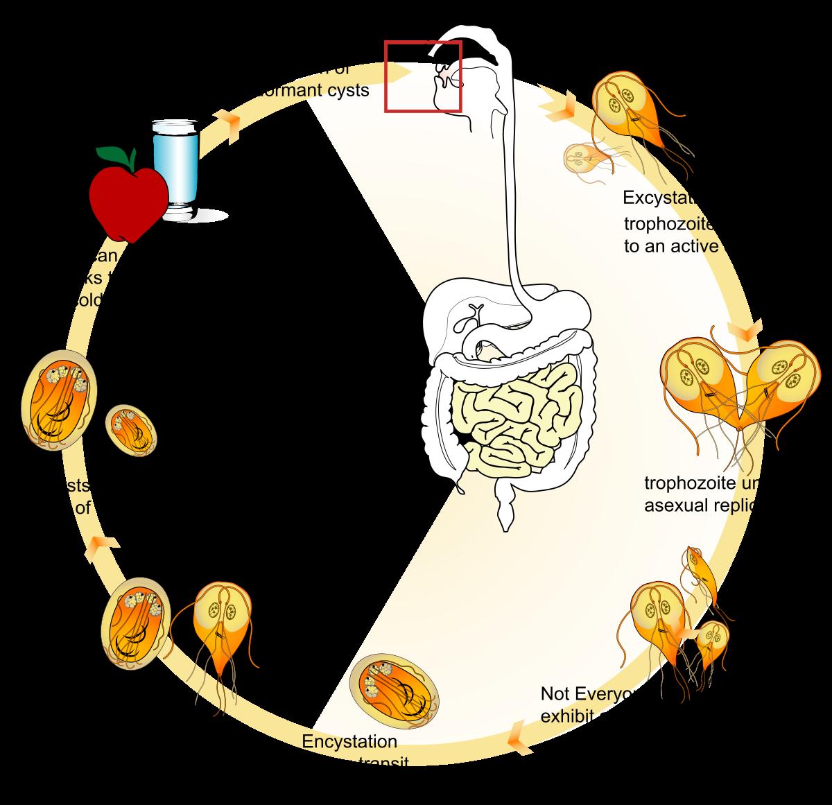 Eozinofilek a vérben: mi a norma és mi az oka az eltéréseknek, Eiazinofil giardiasis