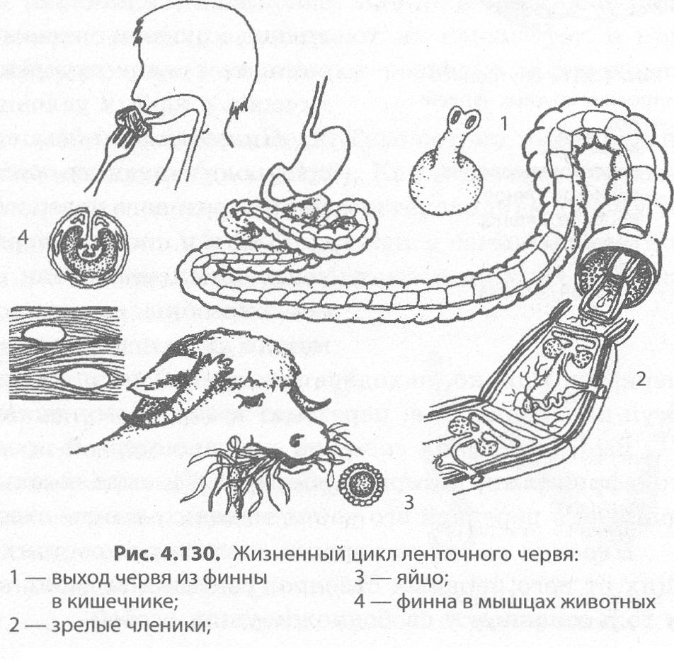 szarvasmarha szalagféreg testhossza nagy növekedés boncolása parazitákkal