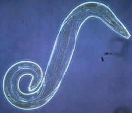 az ascaris biohelminth féregbetegségek megelőzése