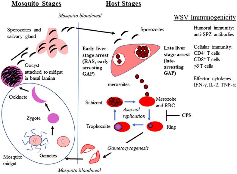 malária plazmodium sporogony fordul elő