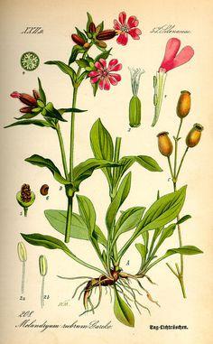 gyógynövény antihelminthic)