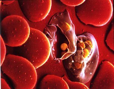 röviden a malária plazmodium kialakulása érzékszervek a parazitákban