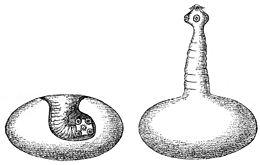 galandférgek szaporodasa