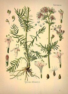 gyógynövény gyűjtemény antihelminthic