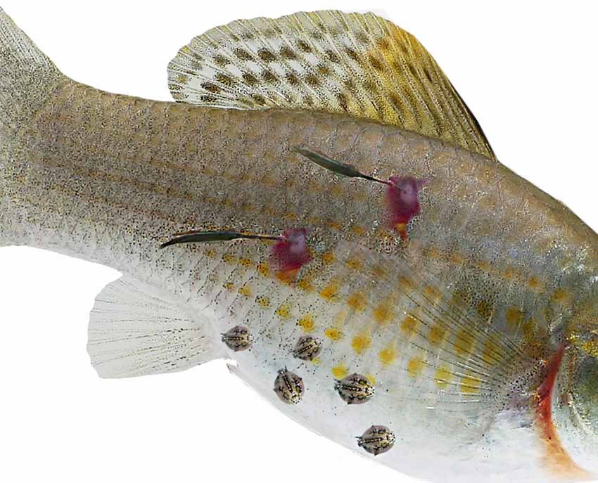 hal férgek az ember kezelésében