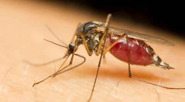 malária plazmodium asztal