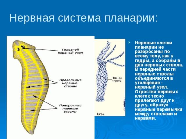 méh szarvasmarha féreg