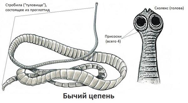 milyen bika szalagféreg helminták és megelőzés