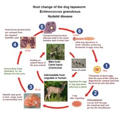uborka szalagféreg ciklus