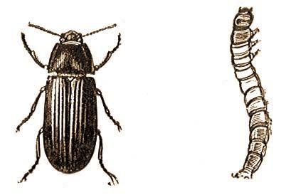 fekete drotfereg pinworms vény nélkül