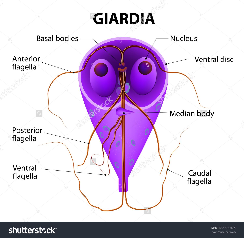 giardiasis férgek kezelése