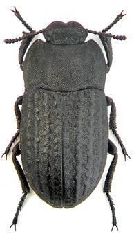 fekete drotfereg olcsó pinworm gyógyszerek