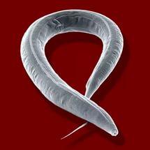 ahol a pinworms emberekben élnek