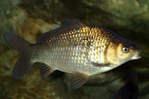 lehet e enni szárított halat féreggel